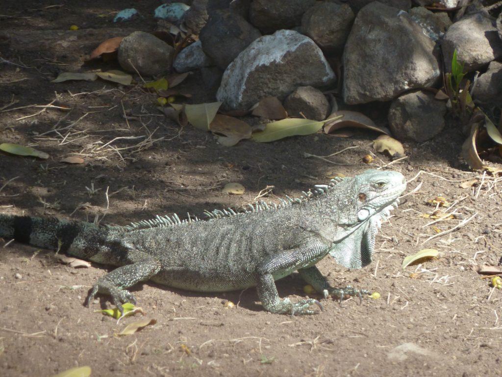 Une iguane